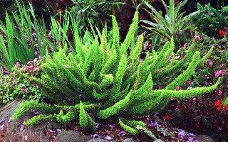 does heat affect aspargus